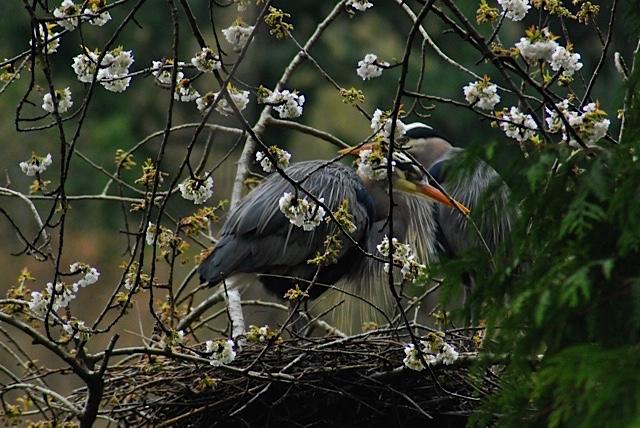 LOTM Cherry Blossom Herons Bowen med DSC-0379