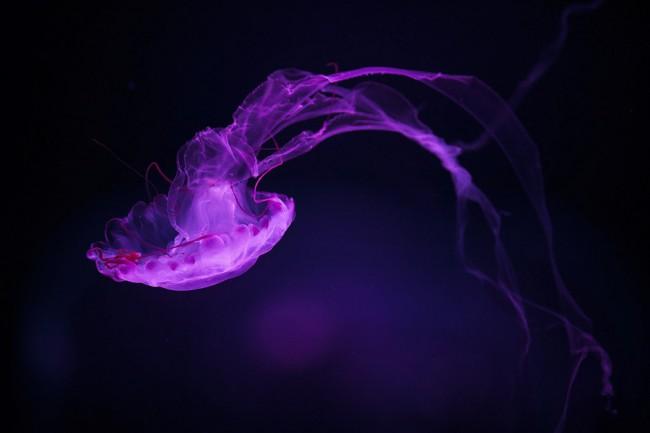 Mitchell-kanashkevich-jellyfish
