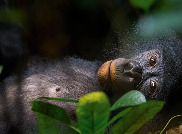 bonobo-nat-geo