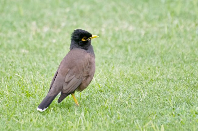 common-myna-juvenile