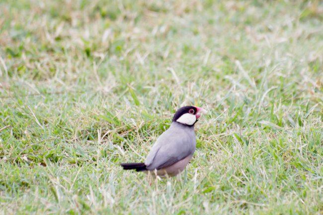 java-sparrow