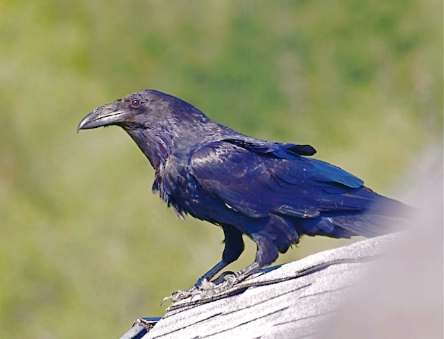 raven on dave's roof