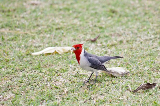red-crested-cardinal