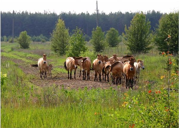 wild horses chernobyl